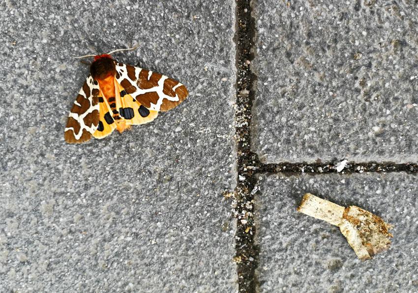 brauner bär, lauenburg. 30. juli 2019